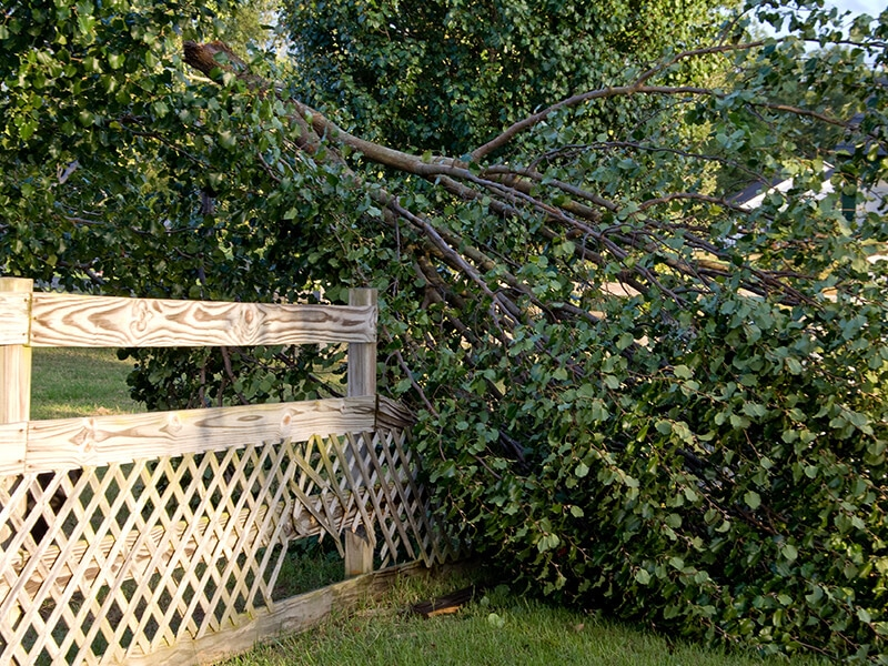 A large pear tree fell on top of a Carolina fence and needs repaired